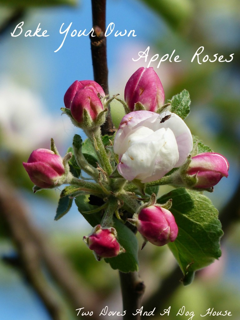 apple roses cover